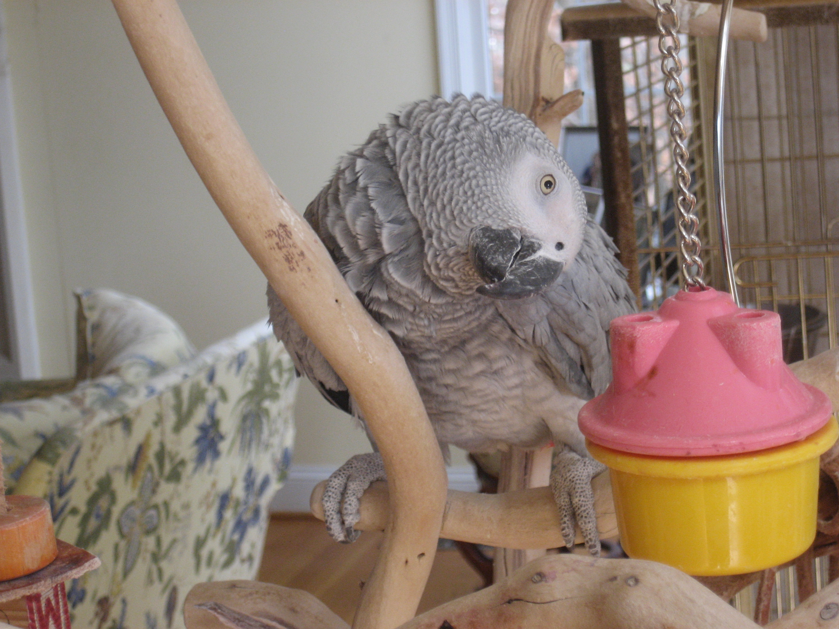 Graycie, our African Gray