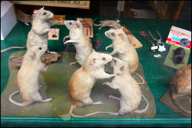 This is the closest you'll get to a rat fornication picture here ;-)