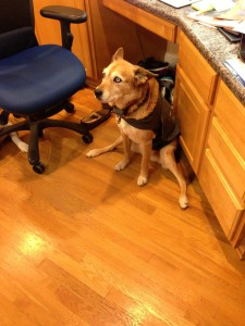 Bridget in her weaker moments--afraid of a thunderstorm (wearing her Thundershirt)